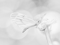 (Nikola Ostrun) Tags: blackwhite bw closeup butterfly nature animal shadow light bokeh flower highkey