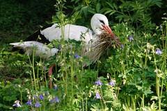 Europischer Weistorch  Ciconia ciconia (Eschi46) Tags: tier vogel storch
