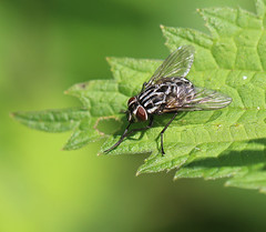 Dandy fly:  24.5.16. (VolVal) Tags: insect fly may dorset bournemouth iford