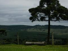 Boqueiro (Mh :)) Tags: pinheiro pssaro tronco natureza nature lages boqueiro santacatarina