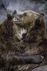 Grizzly Bears (PACsWorld) Tags: bear sandiegozoo grizzlybear
