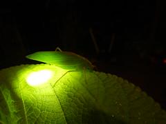 katydid green (jeaniephelan) Tags: green insects katydid