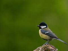 Great Tit (kids'heart) Tags: uk england green bird english nature birds animals outdoors warm bokeh outdoor wildlife greattit 100300 m43 microfourthirds panasonicdmcg5 panasonicg5