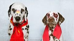 Germany  Croatia (Bea Burin-Herbst | Fotografie) Tags: portrait dog pet pets dogs canon studio 50mm euro soccer indoor hund fans em haustier dalmatian hunde 2016 rde fusball dalmatiner petphotography petphotographer rden haustierfotograf haustierfotografie