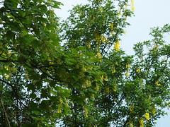 2 unterschiedliche (bratispixl) Tags: germany oberbayern tele insekt fliege schrfentiefe baumblte goldregen ahorn chiemgau lichtwechsel traunreut fokussierung stadtrundweg bratispixl