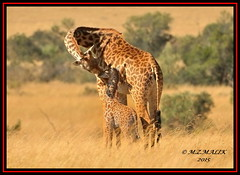MASAI GIRAFFES (Giraffa camelopardalis tippelskirchii)...MASAI MARA......SEPT 2015 (M Z Malik) Tags: africa nikon kenya wildlife ngc safari npc kws masaimara d3x exoticafricanwildlife 200400mm14afs