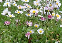 Gnseblmchen- Wiese, Nr. 2   /   Daisy meadow, no. 2 (to.wi) Tags: wiese daisy gras blume gnseblmchen wiesenblume towi