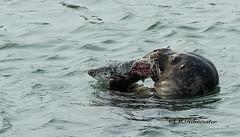 Zeehond / Phocidea (m.ritmeester) Tags: blauw ngc nederland natuur zeeland zwart naturelovers zeehond burghsluis
