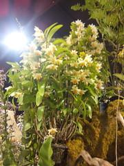 IMG_20160321_111622 (Sasha India) Tags: flowers orchid thailand orchids bangkok exibition apoc   apoc12
