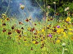 Smokin' Hot Weeds and Wildflowers (brucecarlson66) Tags: red wild hot flower color green nature beauty hat yellow austin landscape fire stem weed sticker mess texas view purple background thistle smoke country hill central ground smoking mexican springs level coneflower sombrero spine pollen shape wildflower smokin stalk cirsium dripping disarray tangled elegance texanum ratibida columnifera smokin