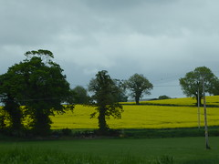 Flowering rape field (seikinsou) Tags: travel ireland summer flower tree field yellow belfast rapeseed westmeath cmsi