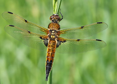 Four-spotted chaser (Roger H3) Tags: insect four dragonfly spotted chaser odonata