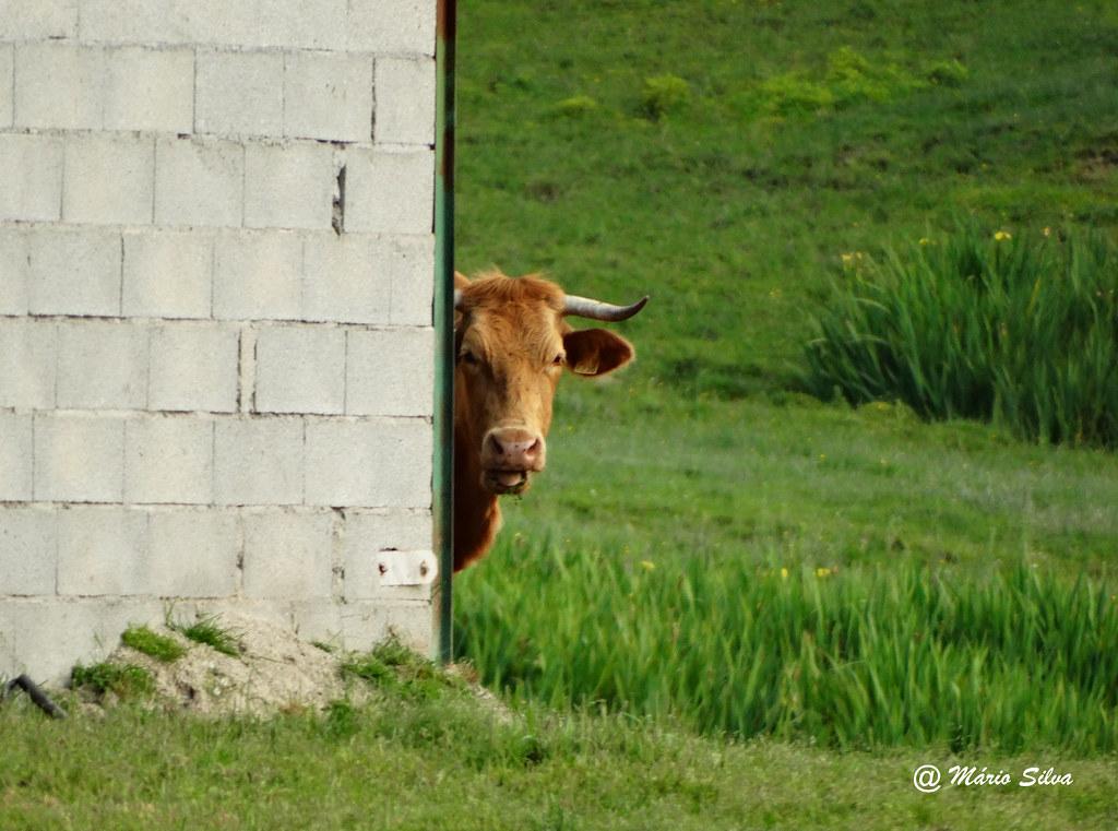 """Águas Frias (Chaves) - ... a vaca a espreitar ... """" ... o que se passa?"""" ..."""