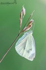 mini_simply (Boscolo Marco Camiletto) Tags: macro verde green nature wet butterfly insect natura rugiada farfalla insetto