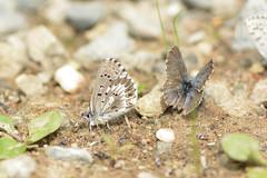 arrowhead and friend (BobRobin) Tags: butterfly insect washington blues cascades arrowheadblue swakanecanyon