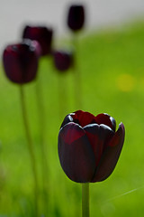 2015 05 24_d7100_0086 (swedgatch (Praying for Dad)) Tags: flowers flower color macro art nature colors beautiful beauty by photography prime photo spring nikon photographer artistic photos sweden stockholm perspective off photographs photograph tiny tele capture tamron 90mm tullip d7100 swedgatch