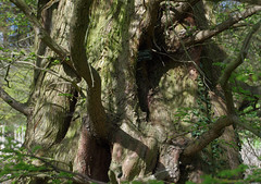 IMGP2344 (mattbuck4950) Tags: cambridge england gardens europe unitedkingdom april cambridgeshire gbr universities 2016 dawnredwood universityofcambridge universityofcambridgebotanicgarden visitswithsaphyrean