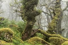 *Wistman's Wood @ ghost forest* (albert.wirtz) Tags: twobridges tavistock dartmoor wistmanswood forest wood wistmans albertwirtz nikon d810 nebel mist fog rain moos mossy farn fern unitedkingdom england greatbritain southwestengland devon nationalnaturereserve ghost spirits ghostforest vereinigtesknigreich wandernhiking dartmoornationalparc ~themagicofcolours~iv