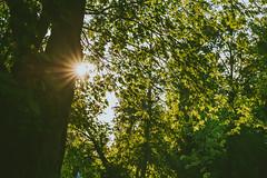 Sun | Summer 2016 #170/365 (A. Aleksandraviius) Tags: sun tree nature forest evening nikon 85mm 365 nikkor 85 lithuania seunset lietuva nikon85mm project365 f14g d810 nikkor85mm 85mmf14g 170365 nikond810 nikoneurope nikon85mm14g 3652016