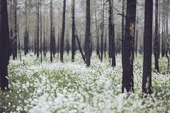 IMG_8319 (L) Tags: flowers trees canon forrest deadtrees forrestfire burnedtrees vsterfrnebo 7020028lisii eos5dmkiii hlleskogsbrnnan