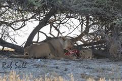 Pride of lions at Okendeka Waterhole (robsall) Tags: africa vacation cat canon mammal big feline lion bigcat lions endangered predator 500mm namibia canoneos lioness bigcats carnivore vulnerable 2015 pantheraleo oshana canon500mmf4 largefelines 7dmarkii canon7d2 canon7dmarkii canon7dmark2 robsallphotography 7dm2 7dmark2 7dmii canoneos7dmark2 canon7dm2 canoneos7dm2 canon500mmf4lii canon500mmf4lisiiusm canon500mmf4ii