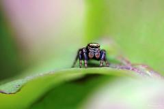 Saltique (Mariie76) Tags: macro nature noir yeux animaux verdure gros petit araigne feuille arachnide salticidae macrophotographie salticide sauteuse saltique