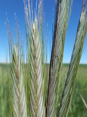 Secale cereale (Matt Lavin) Tags: montana annual poaceae broadview introduced bunchgrass secalecereale triticeae coolseason disturbedsite cerealrye stillwatercountry