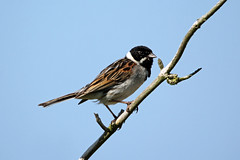 Reed Bunting (Explore) (NickWakeling) Tags: nature birds wildlife norfolk bunting cley cleynextthesea reedbunting northnorfolk canon60d norfolkwildlifetrust cleymarshes sigma150600mmf563dgoshsmcontemporary