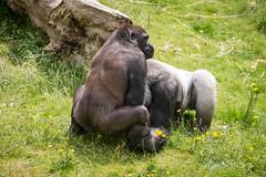 2016-06-16-12h34m41.BL7R9817 (A.J. Haverkamp) Tags: canonef100400mmf4556lisiiusmlens rotterdam zoo dierentuin blijdorp diergaardeblijdorp httpwwwdiergaardeblijdorpnl gorilla westelijkelaaglandgorilla nasibu dob01042007 pobfrankfurtgermany bokito dob14031996 pobberlingermany
