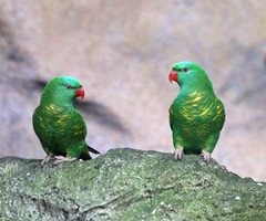 Scaly Breasted Lorikeets (iansand) Tags: zoo tarongazoo trichoglossuschlorolepidotus scalybreastedlorikeets