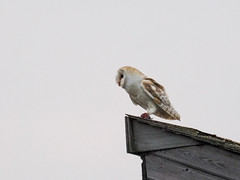 Owl On Rooftop (bredma) Tags: uk wild bird nature wildlife hunting flight naturallight olympus owl british prey barnowl bif birdinflight em1 mc14 4015028