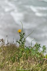 Yellow Horned Poppy - Glaucium flavum (frattonparker) Tags: coast raw cliffs isleofwight englishchannel papaver lamanche tamron28300mm chalkdownland nikond600 btonner frattonparker lightroom6