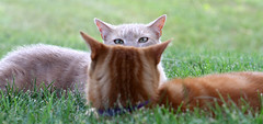 I've got my eyes on you (Kerri Lee Smith) Tags: cats grass buddies brothers jimmy siblings depthoffield tabbies felines cateyes mack gingercats orangecats buffcats