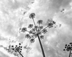 Giant Hogweed (l4ts) Tags: landscape blackwhite derbyshire peakdistrict sheldon whitepeak gianthogweed heracleummantegazzianum hardrake britnatparks phototoxic furanocoumarin