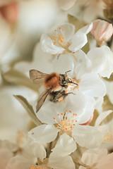 Fly away (CA_Rotwang) Tags: flower macro up photoshop germany close natur nrw environment blume insekt nahaufnahme hummel umwelt sauerland