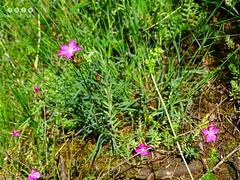 Blume, Pflanze, Wildblume, Wildkraut, Staude, Strauch .... wer kennt die Bezeichnung? (warata) Tags: flower fleur germany deutschland pflanze blume blte pinkflowers 2016 wildblume wildpflanze