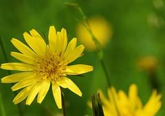 Gelbe Wiesenblume (chrissie.007) Tags: wildflower wiesenblume wildblume gelbeblume 20160515