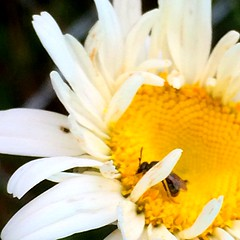 Enjoy the Bounty (mightyquinninwky) Tags: flower insect kentucky daisy unioncounty westernkentucky flyinginsect morganfield morganfieldkentucky