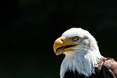 Weikopfseeadler (Nereus[GER]) Tags: weiskopfseeadler seeadler adler vogel greifvogel neunkirchen zoo