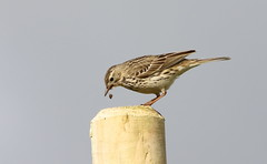 ....I'm bringing up this pellet.... (themadbirdlady) Tags: bird post behaviour meadowpipit pellet passeriformes anthuspratensis motacillidae sheriffmuirnorthnn8303
