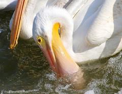The Scoop (Kaptured by Kala) Tags: fish fishing feeding beak pelican pouch aquatic waterfowl whitepelican shad whiterocklake winterbirds americanwhitepelican pelecanuserythrorhynchos dallastexas aquaticbird lowerspillwaysteps