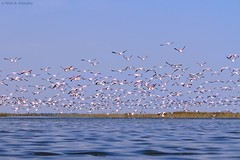 Flock of Greater Flamingos (Phoenicopterus roseus) in flight (mihir_dhandha) Tags: bluewater greaterflamingo phoenicopterusroseus birdinflight birdphotography nalsarovar canonkitlens canoneos7d canon55250