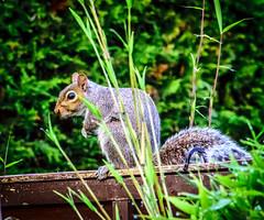 squirrel (markgrainger) Tags: england plant green nature animal garden squirrel wildlife bamboo beautifull