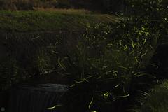 20160618-DS7_6729-6741.jpg (d3_plus) Tags: street sky plant mountains nature field japan bug nikon scenery nightshot dusk illumination daily  streetphoto nightview 28105mmf3545d toyama nikkor ricefield     dailyphoto  riceplant  28105 lightdisplay     28105mm   zoomlense        28105mmf3545 toyamapref d700 281053545 nikond700  aiafzoomnikkor28105mmf3545d  28105mmf3545af photoshopcc sankyovillage aiafnikkor28105mmf3545d