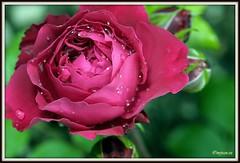_JVA6873 (mrjean.eu) Tags: park pink flowers blue roses white france flower macro green nature fleur rose yellow fleurs garden nikon jardin botanic lorraine botanique parc metz 105mmf28