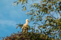 Nachwuchs (randaniel) Tags: nest junior nrw rheinland stork tier vogel naturschutzgebiet storch niederrhein nachwuchs ooievaar zyfflich kreiskleve jungstorch klapperstraus