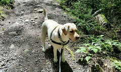 Gracie on a sunny trail (walneylad) Tags: summer dog pet cute june puppy gracie lab labrador canine labradorretriever
