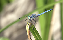 Dragon on The Prowl (charles25001) Tags: california macro nature insect sandiego dragonfly