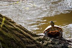 Schildkrte beim Sonnenbad (carstengrahn) Tags: park netherlands turtle tortoise groningen niederlande noorderplantsoen schildkrte bycarstengrahn canoneos760drebelt6s