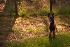 SUJET | Berge Malinois (BlandineD. Photographe) Tags: malinois chien mâle animalier extérieur